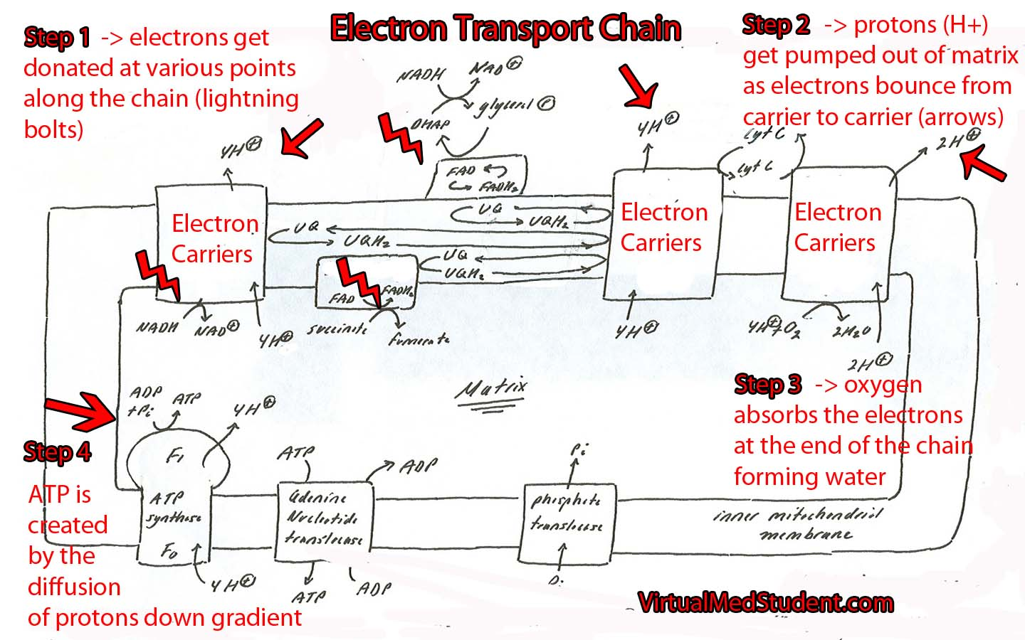 electron transport chain The electron transport chain in the mitochondrion is the site of oxidative  any  reaction that decreases the overall free energy of a system will happen.