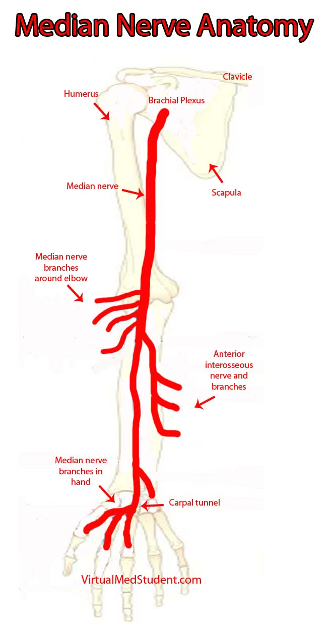 VirtualMedStudent.com || Median Nerve